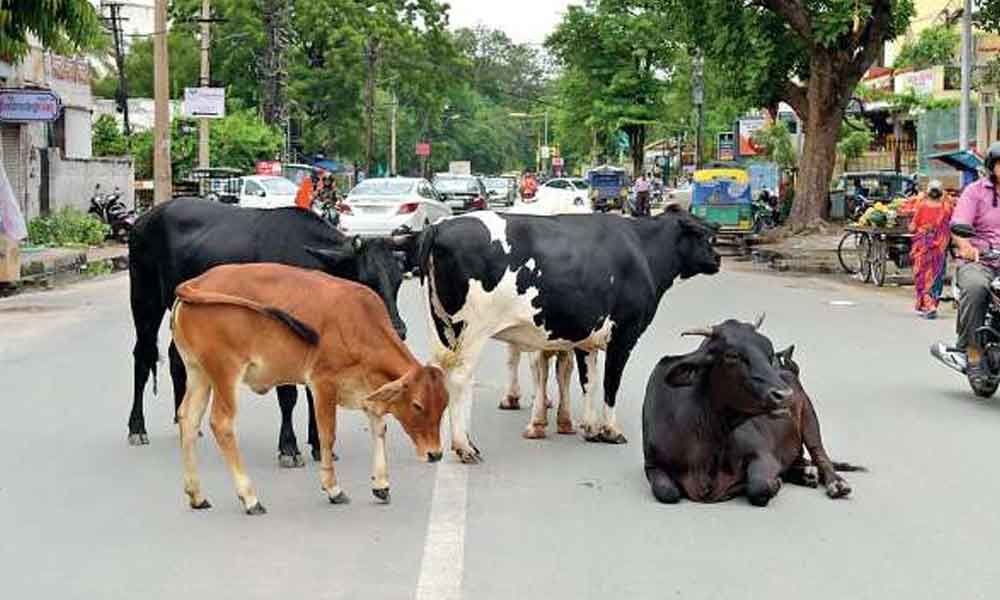 Drive on to make city roads stray cattle-free
