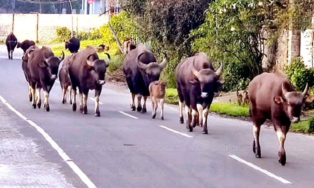 Tourists alarmed as wild buffaloes go on the rampage in Kodaikanal